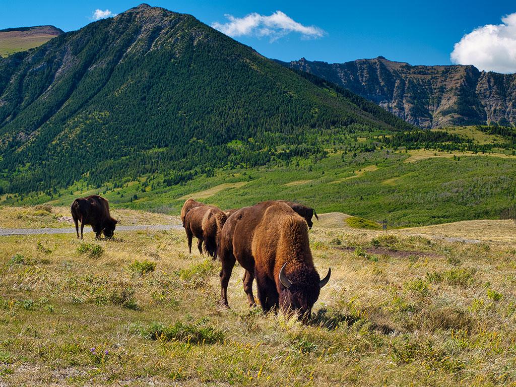 Bison im Waterton Lakes Nationalpark