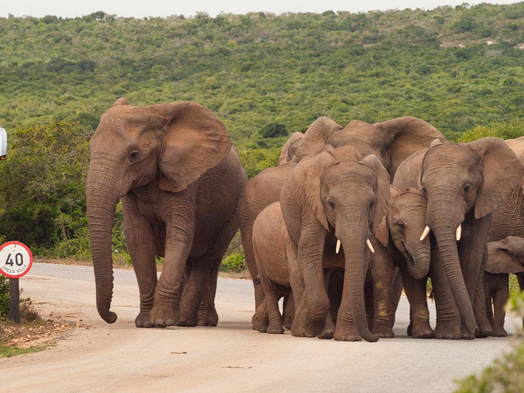 Elefanten auf Straße