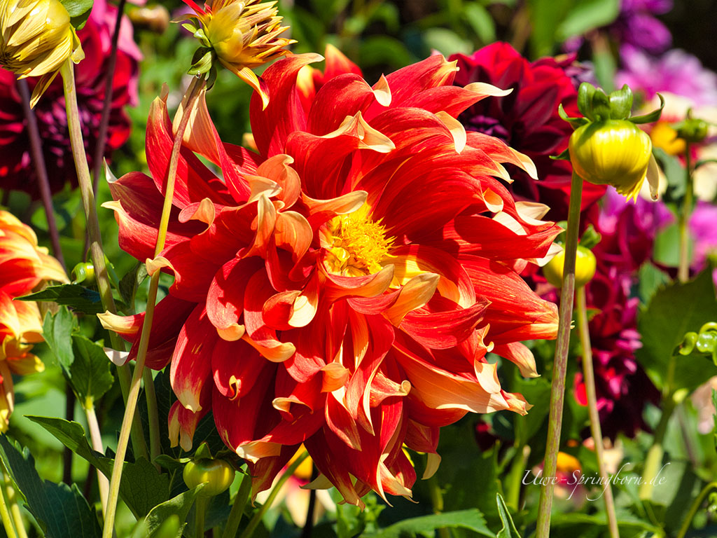 Butchart Gardens (Aster)
