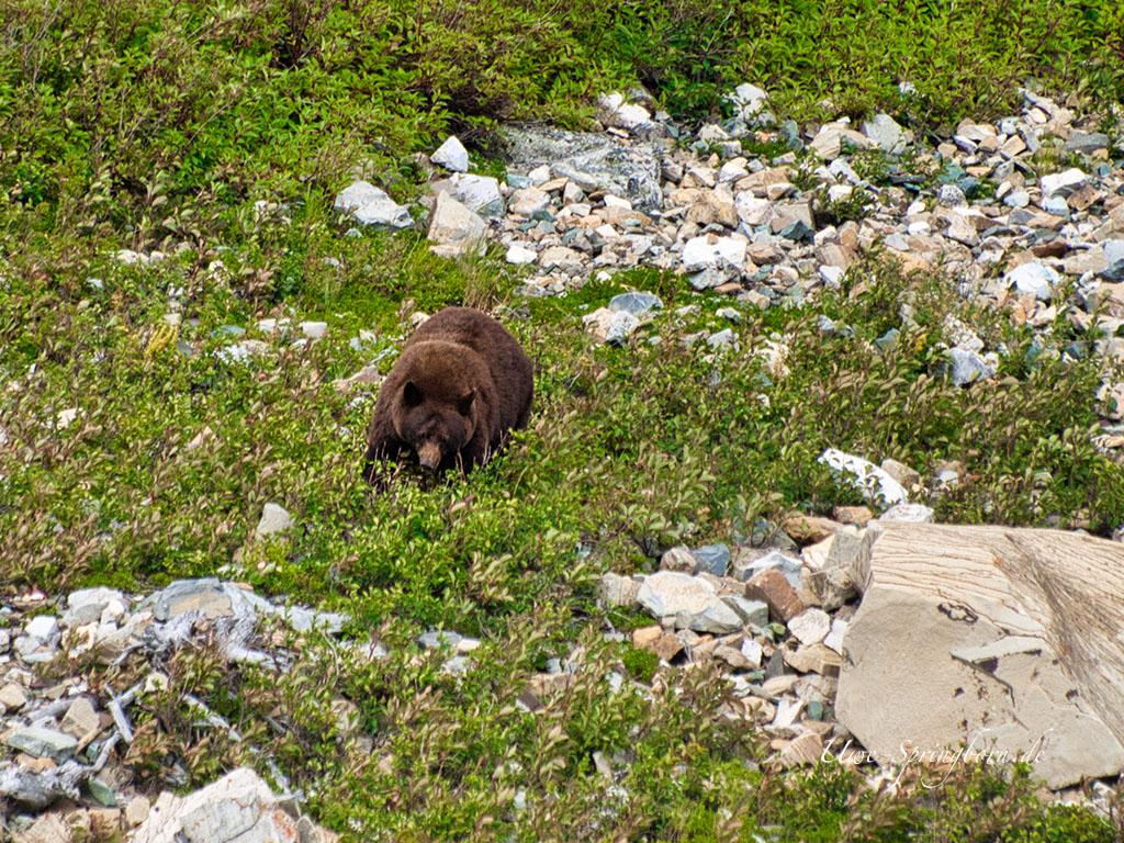 Grizzly im Waterton Lakes Nationalpark