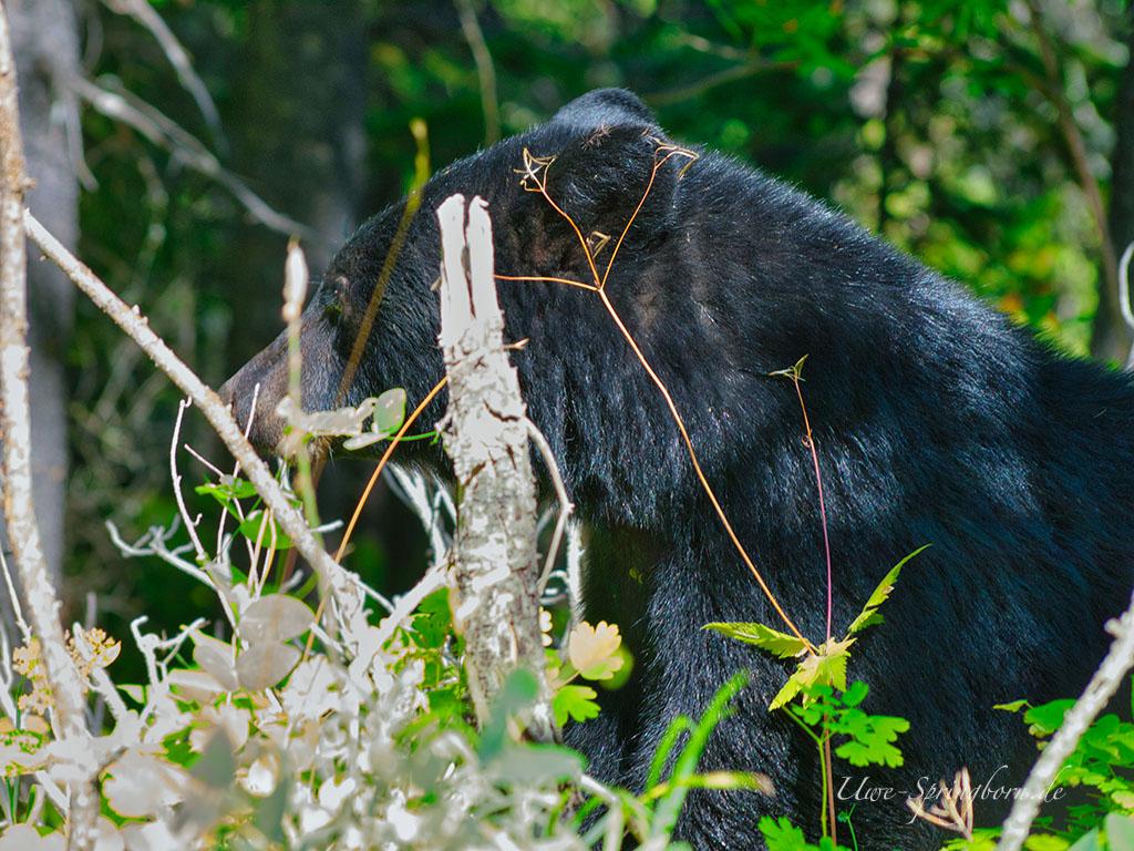 Schwarzbär im Waterton Lakes Nationalpark